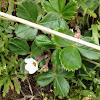 Wild Oregon Strawbrerry