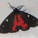 Placentia Tiger Moth