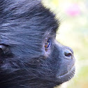 Black-headed spider monkey