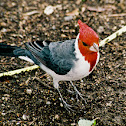 Red-crested