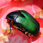 Green Protea Beetle