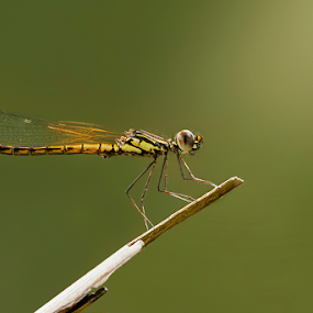 Dakocan DragonFly by Robert  Fly - Animals Insects & Spiders ( macro, nature, fly, capung, dragonfly, dakocan,  )