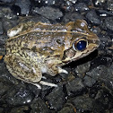 Rough Collared Frog