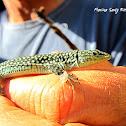 Lagartija de Marruecos, Moroccan Rock Lizard