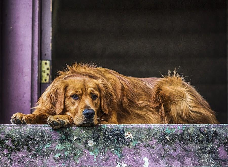 Watch Dog by Tom Reiman - Animals - Dogs Portraits ( retriever, oregon, portland, watch, guard, dog, golden, #GARYFONGPETS, #SHOWUSYOURPETS,  )