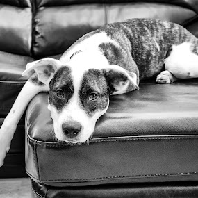 Lazy Day by Robb Harper - Animals - Dogs Portraits ( black and white, photos by robb harper, dog, portrait )