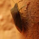 Purse Beetle