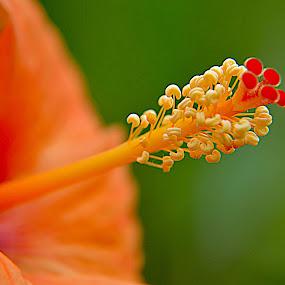 by Saptarshi Datta - Flowers Single Flower ( macro, hibiscus, nikon d5200, garden, flower,  )