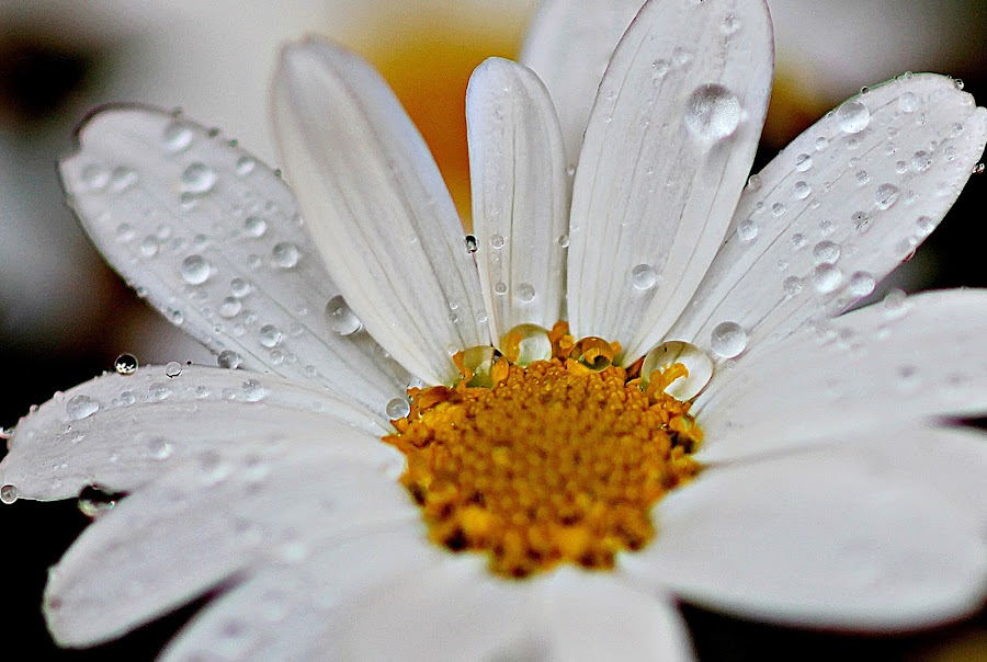 by Inger Lefstad - Flowers Single Flower
