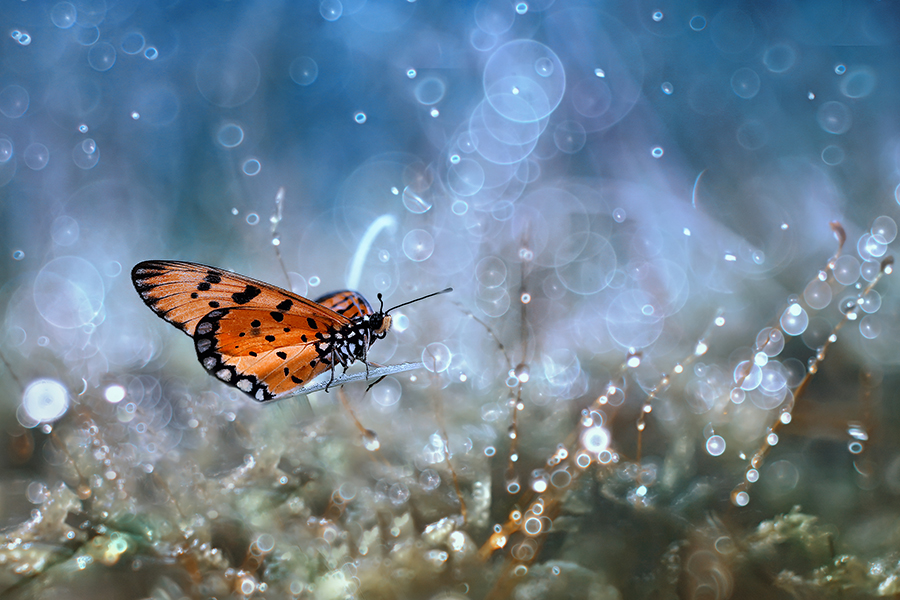 landing by Alonk's Roby - Animals Insects & Spiders ( macro butterfly insect eos indonesia )