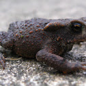 Female Midwife Toad