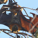 Grey headed flying fox