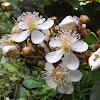 White Achiote Flower