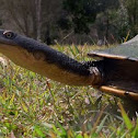 Eastern Snake-necked Turtle