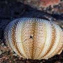 Pincushion Sea Urchin