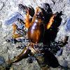 Dark Night Mole Cricket