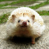 Black-eyed Cinnicot, Four-toed or African Pygmy Hedgehog