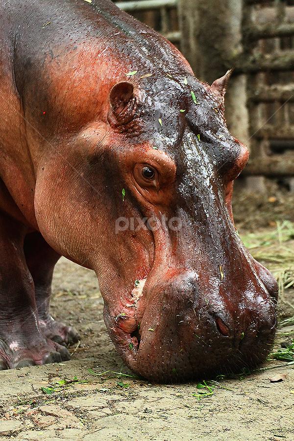 Head of hippos by Nyoto Nugroho Poospo - Animals Other Mammals