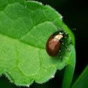knotgrass leaf beetle