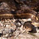 Montana Garter Snake