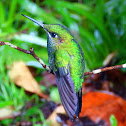 Green-Crowned Brilliant Females