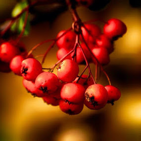 Red beauty by Vinko Radonic - Nature Up Close Trees & Bushes ( red, micro, bush )