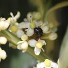 Pine Lady Beetle