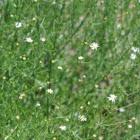 Southern annual saltmarsh aster, Lawn American-aster, White wood aster, Saltmarsh aster