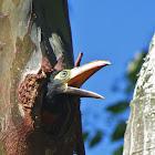 Collared aracari (juvenile)