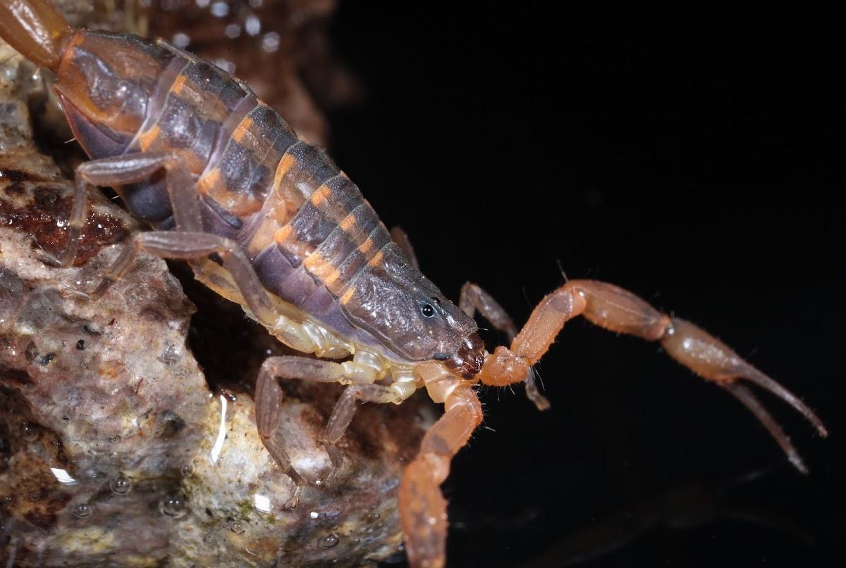 Hentz's Striped Scorpion