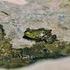 Pickerel Frog-Grenouille des marais