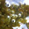 filamentous green algae