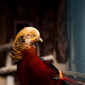 Golden Pheasant - Altın Sülün by Ahmet AYDIN - Animals Other ( pheasant, darıca, turkey, golden )