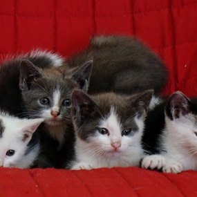 Four Stray Kittens on a Couch by Bridgette Rodriguez - Animals - Cats Kittens ( cats, animals, kitten, cat, kittens, cute, kitty, animal,  )