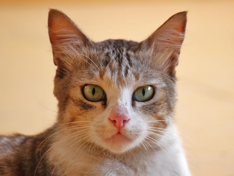 by Anoop Ramachandran - Animals - Cats Portraits ( canon, 55-250is, 550d, cat portrait )