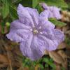 Carolina wild petunia