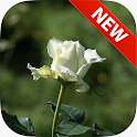 White Roses Wallpapers icon