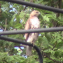 Red-tailed Hawk (nominate form)