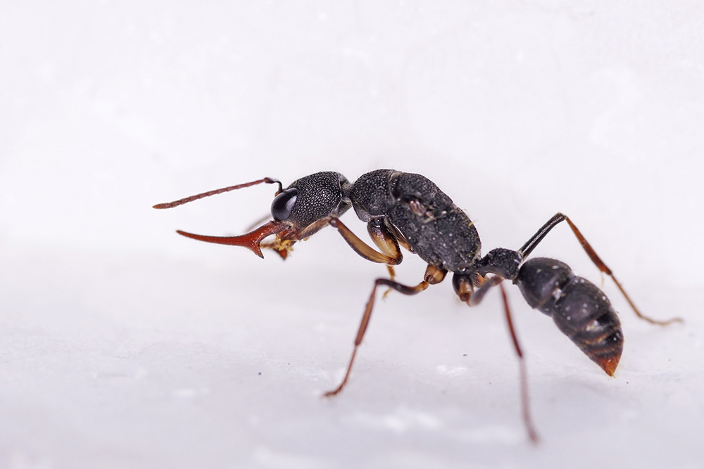 Giant Jumping Ant
