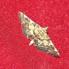 Checkered Apogeshna Moth