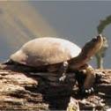 Western pond turtle (Clemmys marmorata)