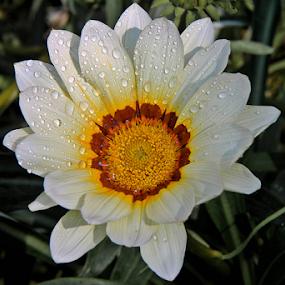 by Debasish Naskar - Flowers Single Flower