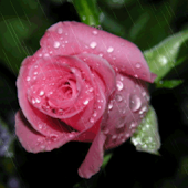 Rain On Pink Rose Live Wallpap