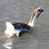 Chinese Goose
