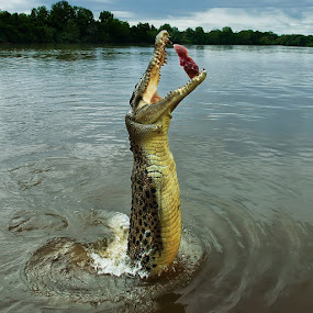 Jumping crocodile by Anna Tatti - Animals Reptiles ( adelaide_river  australia crocodile jumping food travel,  )