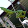California (Praying) Mantis