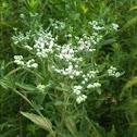 Late-flowering Boneset