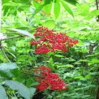 Coast Red Elderberry