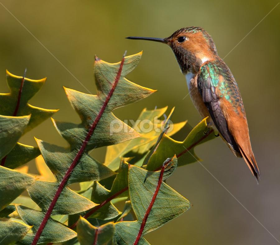 Hummingbird Perch by Phyllis Plotkin - Animals Birds ( plant, nature, hummingbird, birds, profile )