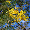 Early Black Wattle